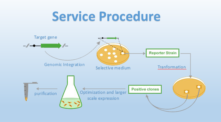 Yeasts as Hosts for Recombinant Protein Production Service Procedure